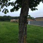 Tree diseases horse chestnut